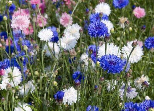 矢车菊一年开几次花 开花时间几月份