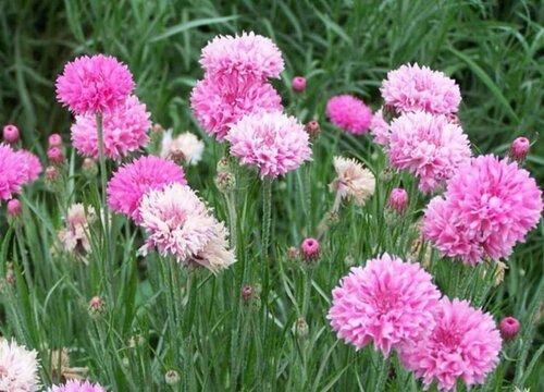 矢车菊种子的种植方法和注意事项 什么时候播种最好