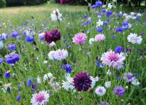 矢车菊什么时候开花 属于哪个季节的花