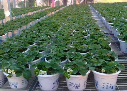 草莓什么季节种植最好 一般几月份种植