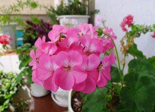天竺葵怎么养护花开不断
