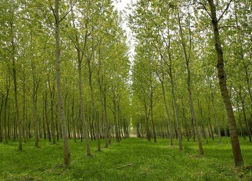 树有公母之分吗 什么树分雌雄