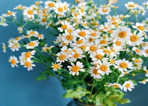 洋甘菊的花语是什么意思 洋甘菊的花语和象征意义