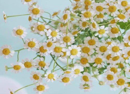 洋甘菊什么时候开花 一般花期是几月