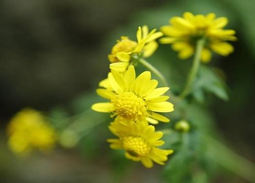 菊花在什么季节开放  如何养护开花