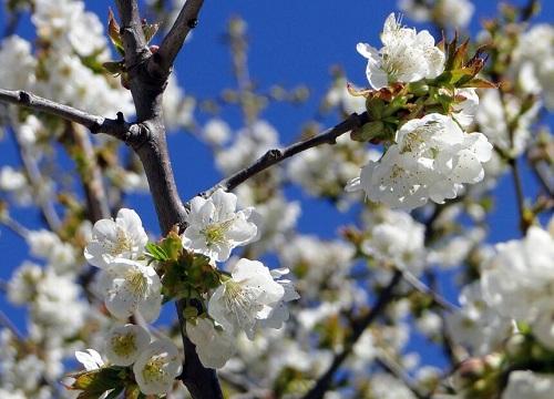 日本樱花品种名称及图片 日本樱花品种排名