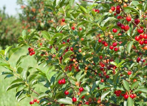 樱桃核能种吗 吃完樱桃的核能种出来樱桃树吗
