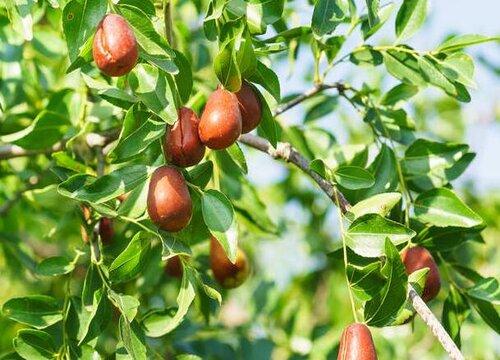 盆栽枣树如何矮化 枣树矮化修剪技术