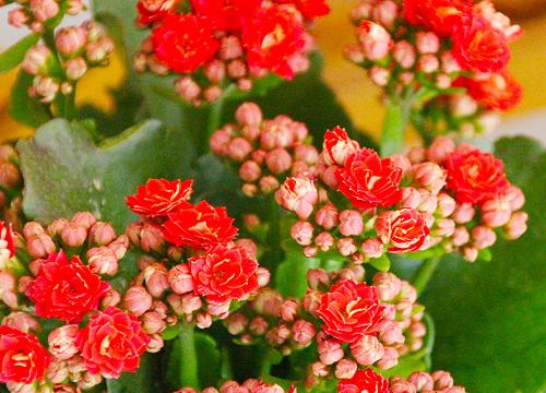 长寿花养护一定要注意的细节问题