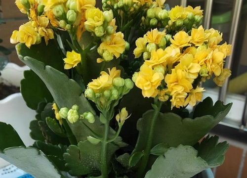 立秋后长寿花怎么养护花苞不断长出