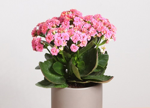长寿花需要大盆还是小盆养 花盆大小的选择