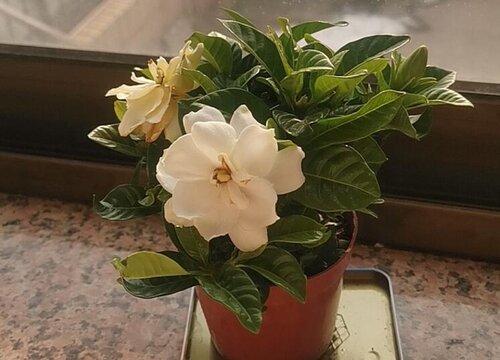 如何养殖栀子花让它开花似雪