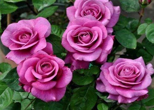 紫色月季花有哪些品种 紫色的月季花种类及图片