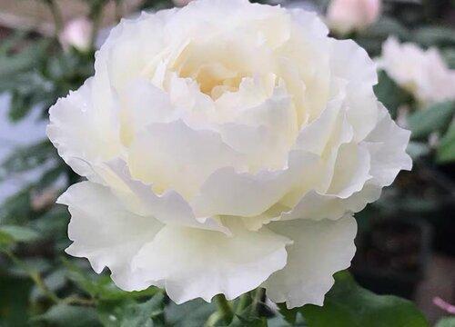 白色月季花有哪些品种 值得种的白色月季名称及图片
