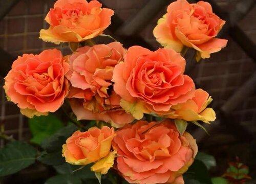 夏季月季花浇什么肥水花朵挂满枝