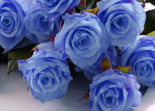 玫瑰花在什么季节开放 开花的形状与样子